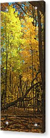 Fall Maples- Uw Arboretum  - Madison - Wisconsin Acrylic Print by Steven Ralser