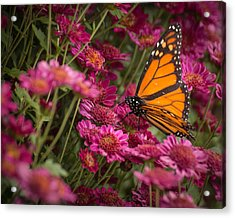 Acrylic Print featuring the photograph Fall Monarch  by Julie Andel