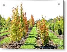 Fall On The Tree Farm Acrylic Print