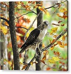 Fall Red-tailed Hawk Acrylic Print