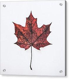 Fallen Red Acrylic Print by Kate Morton