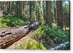 Fallen Tree- Acrylic Print