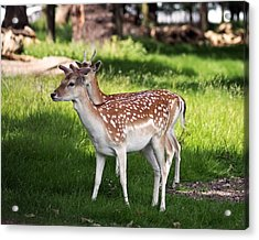 Fallow Deer In Richmond Park Acrylic Print by Rona Black