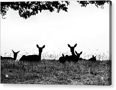 fallow Deer Acrylic Print by Yorkshire In Colour