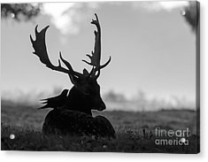 Fallow Deer With Friend - Black And White Acrylic Print