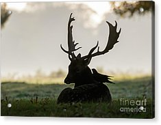 Fallow Deer With Friend Acrylic Print