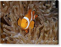 False Clownfish Acrylic Print by Steve Rosenberg - Printscapes