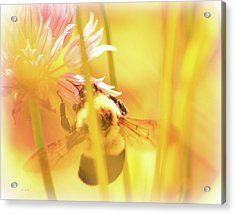 Fame Is A Bee Acrylic Print by Bob Orsillo