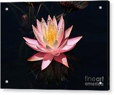 Familiar Bluet Damselfly And Lotus  Acrylic Print