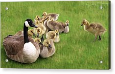 Family Huddle - Canada Goose And Goslings Nature Painting Acrylic Print by Rayanda Arts