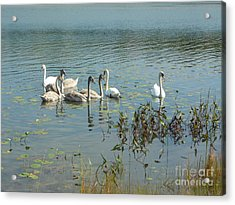 Family Of Swans Acrylic Print