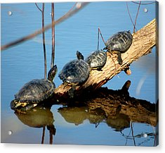 Family Of Turtles Acrylic Print by Bob Guthridge