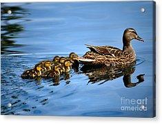 Family Swim Acrylic Print by Deb Halloran