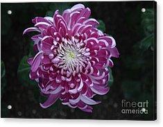 Fancy Chrysanthemum In Pink Acrylic Print