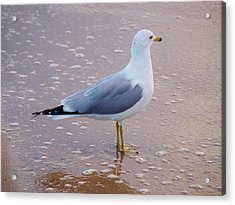 Fancy Gull Acrylic Print