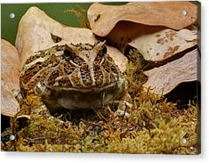 Acrylic Print featuring the photograph Fantasy - Horned Frog by Nikolyn McDonald