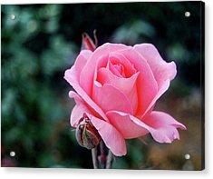 Fantin-latour Paris Roses Acrylic Print by JAMART Photography