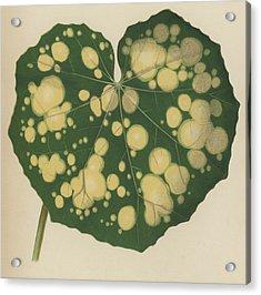 Farfugium Grande  Leopard Plant, Green Leopard Plant Acrylic Print by English School