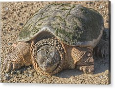 1013 - Fargo Road Turtle Acrylic Print