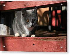 Farm Cat Acrylic Print by Tacey Hawkins