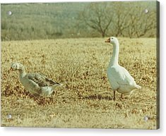 Farm Geese Acrylic Print by JAMART Photography