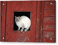 Farm Kittie Acrylic Print by Shawna Dockery