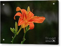 Farmington Lilly 3 Acrylic Print