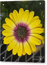 Fascinating Yellow Flower Acrylic Print