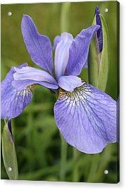 Fasinating Siberian Iris Acrylic Print by Bruce Bley