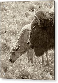 Acrylic Print featuring the photograph Father And Baby Buffalo by Rebecca Margraf