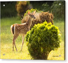 Acrylic Print featuring the photograph Fawn by Angel Cher