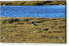 Fawn Caribou Acrylic Print by Anthony Jones