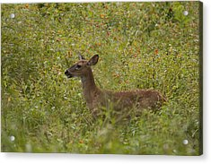 Fawn In A Field Of Flowers Acrylic Print by Tina B Hamilton