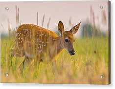 Acrylic Print featuring the photograph Fawn In Grasslands by John De Bord