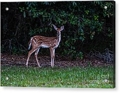 Fawn Near The Forest Acrylic Print by Zina Stromberg