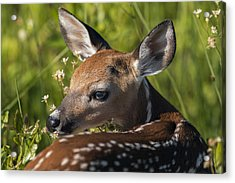 Fawn Over The Shoulder Acrylic Print