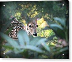 Fawn Peeking Through Bushes Acrylic Print