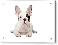 Fawn Pied French Bulldog Puppy Acrylic Print by Mlorenzphotography