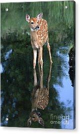 Fawn Reflection Acrylic Print