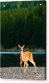 Fawn Acrylic Print by Sebastian Musial
