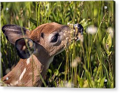 Fawn Smelling The Wildflowers Acrylic Print