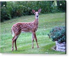 Fawn Standing Acrylic Print by Geralyn Palmer