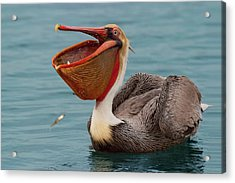 Acrylic Print featuring the photograph Feasting Brown Pelican  by Ram Vasudev