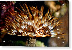 Feather Duster Acrylic Print by Anthony Jones