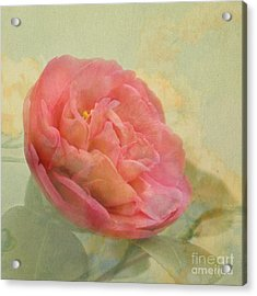 February Camellia Acrylic Print by Cindy Garber Iverson