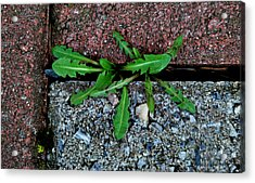 February Surprise Acrylic Print by Marilynne Bull