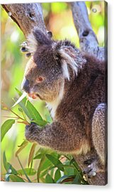 Acrylic Print featuring the photograph Feed Me, Yanchep National Park by Dave Catley