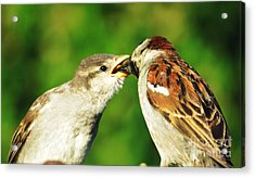 Feeding Baby Sparrow 3 Acrylic Print by Judy Via-Wolff