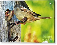 Feeding Baby Sparrows 1 Acrylic Print by Judy Via-Wolff