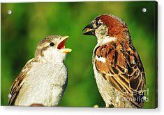 Feeding Baby Sparrows 2 Acrylic Print by Judy Via-Wolff